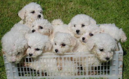 Adorable Bichon Frise Cute Puppies