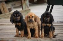 Blood Hound Puppies Photos #1