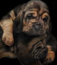 Blood Hound Puppies Photos #5