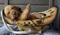 Blood Hound Puppies Photos #6