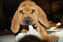 Blood Hound Puppies Photos #8