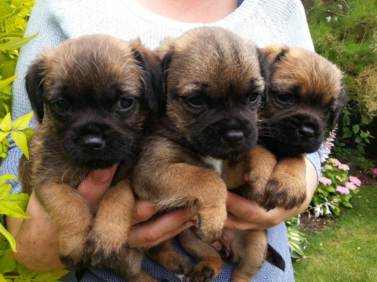 Border Terrrier Puppies, Breed Information, Dog Photos - Doglers | Border Terrier Puppies Western Australia
