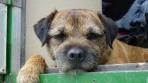 Border Terrier Puppy Image