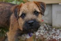 Border Terrier Puppy Photo