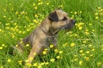 Border Terrier Puppy in Beautiful Green Field
