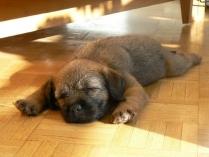Cute Border Terrier Puppy Sleeping Photo