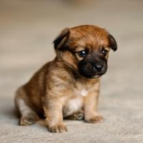 Cute Border Terrier Puppy