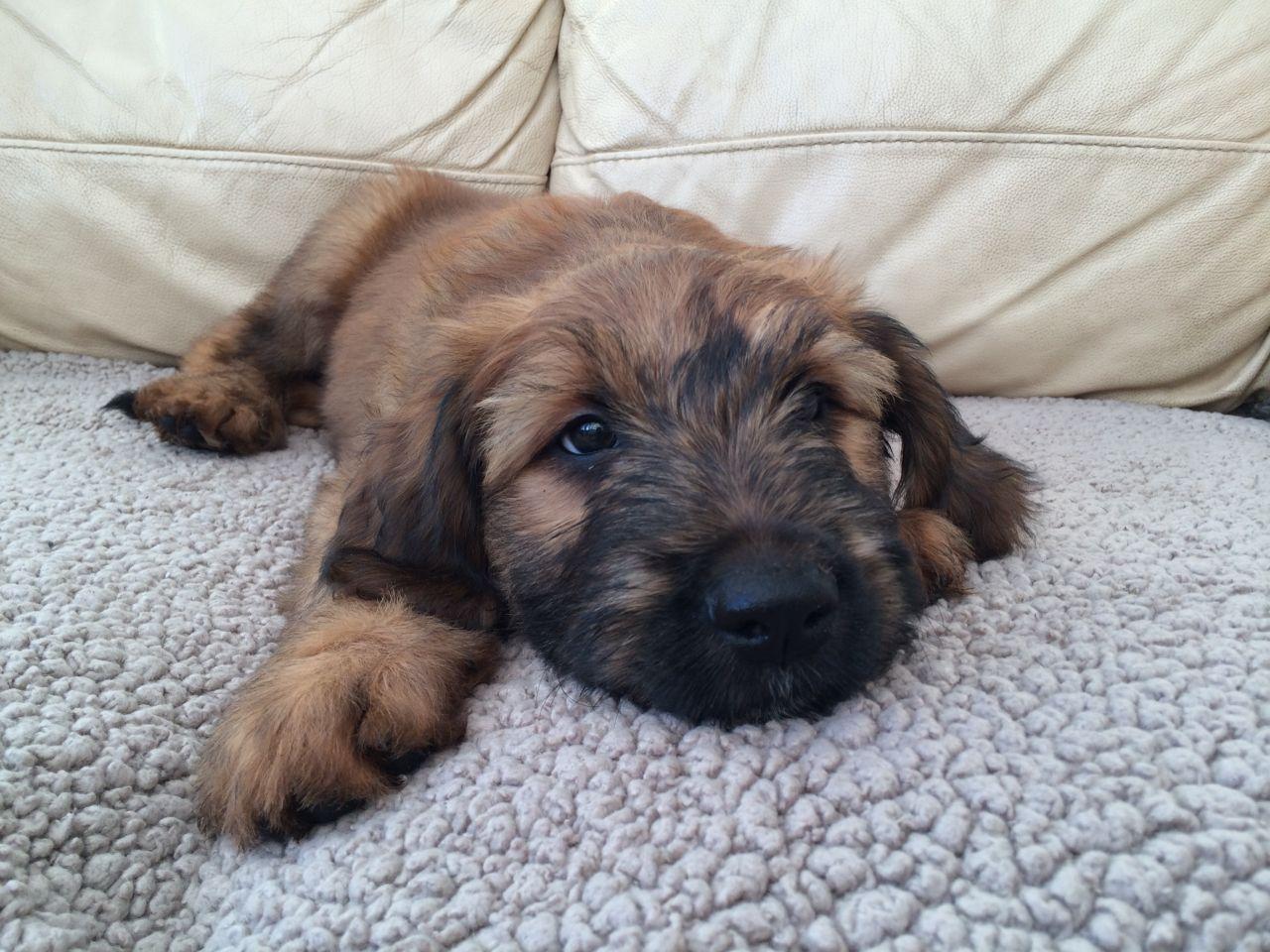 Briard Puppies, Dog Photos, Dog Breed Information - Doglers