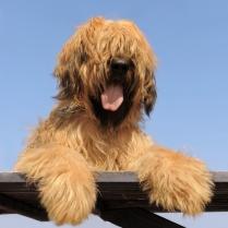Beautiful Fawn Briard Puppy