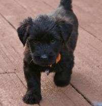 Briard Black Puppy