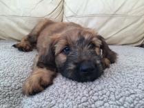 Briard Fawn Color Puppy