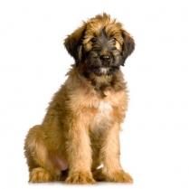 Briard Puppy Photo