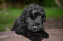 Cute Black Briard Puppy