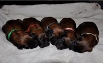 Cute Shiny Briard Puppies