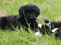 Healthy Black Briard Puppy
