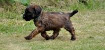 Small Briard Puppy