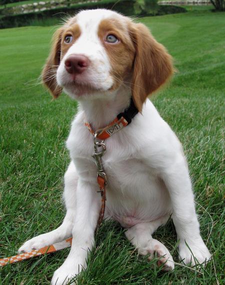 Brittany Puppies Puppies Photos Dog Photos Dog Breeds