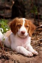 Brittany Puppy HD Photo