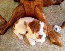 Cute Brittany Puppy