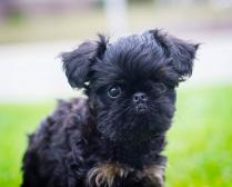 Black Brussels Griffon Puppy