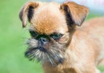 Brussels Griffon Puppy HD Photo