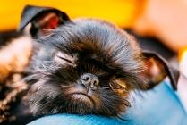 Brussels Griffon Puppy Sleeping Photo