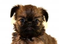 Cute Brussels Griffon Puppy Photo