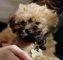 Cute Brussels Griffon Puppy