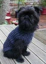 Dresssed Brussels Griffon Puppy