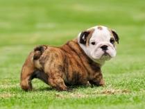Bull Dog Puppy HD Photo