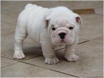 Cute White Bull Dog Puppy