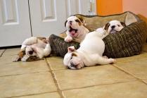 Funny Bull Dog Puppies Photos