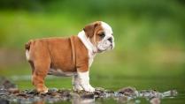 HD Photo of Bull Dog Puppy