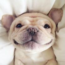 Smiling Bull Dog Puppy