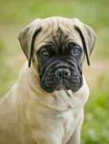 Bull Mastiff Puppy Image