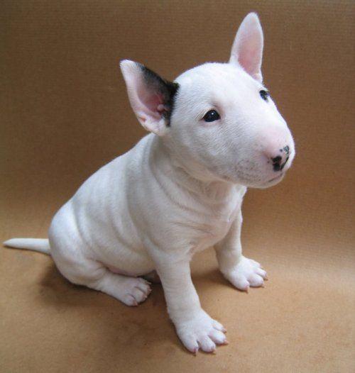 Bull Terrier Puppies, Puppies Photos, Dog Photos