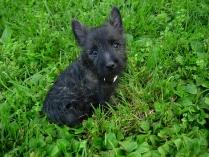 Cairn Terrier Black Puppy