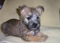 Cairn Terrier Puppy Photo