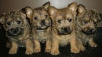 Cute Cairn Terrier Puppies