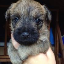 Cute Cairn Terrier Puppy Still
