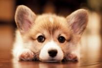 Adorable Cardigan Welsh Corgi Puppy