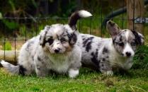 Cardigan Welsh Corgi Puppies Stills