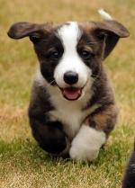 Cardigan Welsh Corgi Puppy Image