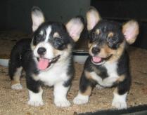 Cardigan Welsh Corgi twin Puppies