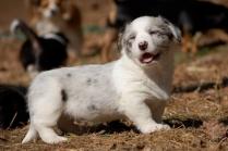 Cute Cardigan Welsh Corgi Puppy