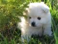 Cute American Eskimo Puppy #1