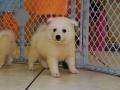 Cute American Eskimo Puppy #3
