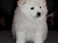 Cute American Eskimo Puppy #4