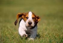 Basset Hound Puppy Cute
