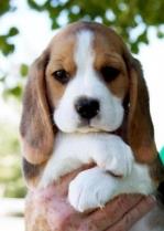 Adorable Beagle Puppy Photo